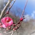 写真: 淑やかに咲く!