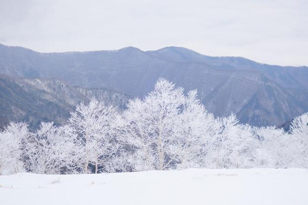 写真: ダケカンバの樹氷