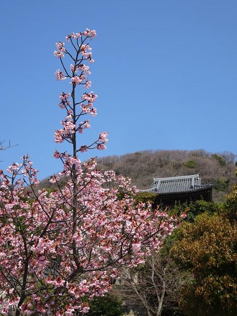 神呪寺の彼岸桜