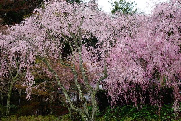 光前寺しだれ桜