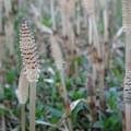 写真: 土筆の林