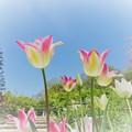 写真: チューリップの春