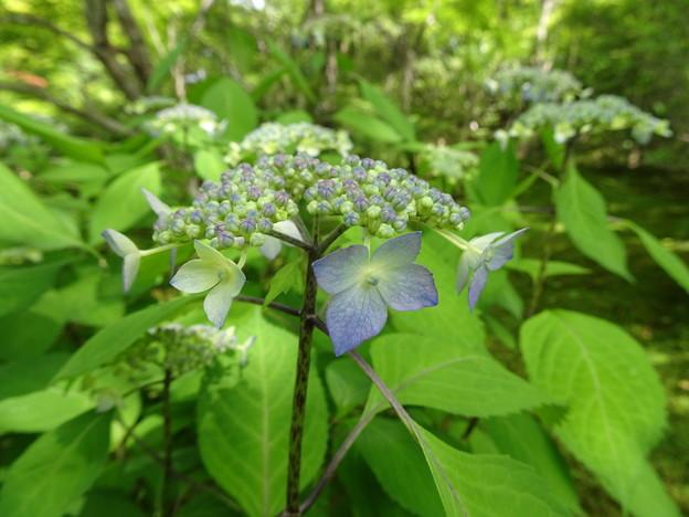 宝筐院の紫陽花