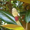 タイサンボクの花のあと
