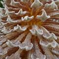 写真: 蘇鉄の花