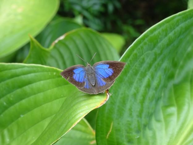 9月6日北山緑化植物園ムラサキシジミ
