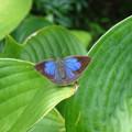 写真: 9月6日北山緑化植物園ムラサキシジミ