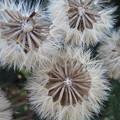 ツワブキの綿毛