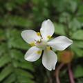 写真: バイカオウレン 開花♪♪
