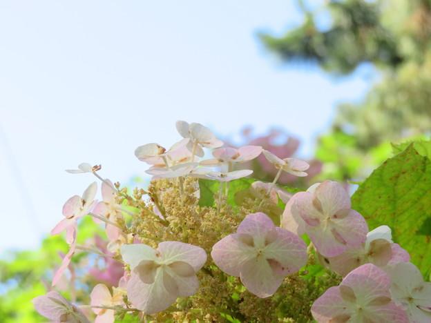 Photos: 柏葉紫陽花