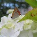 Photos: 白い紫陽花にベニシジミ