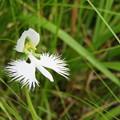 Photos: 白花の舞
