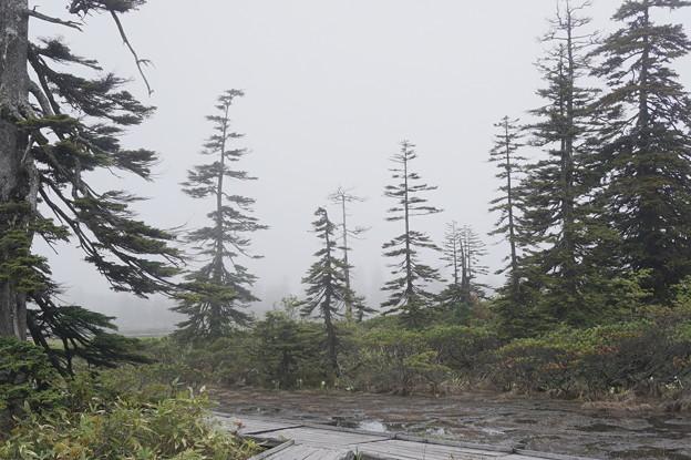 霧にかすむ傘松