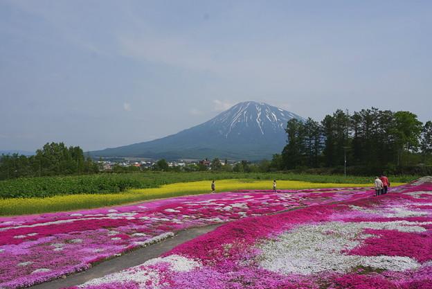 羊蹄山借景の芝桜