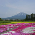 Photos: 羊蹄山借景の芝桜