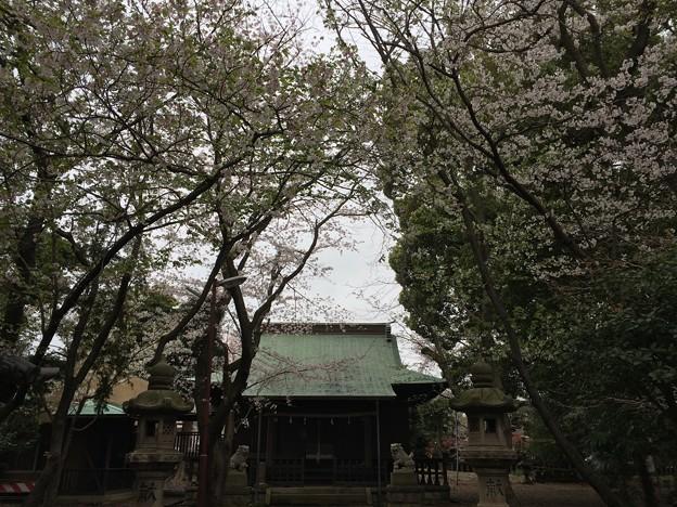 宮前公園の桜2