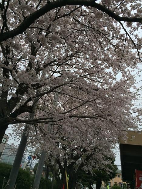 宮前公園の桜4