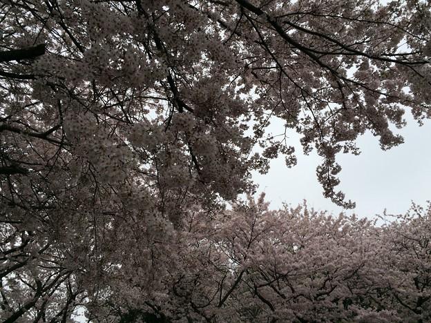 宮前公園の桜9