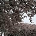 写真: 宮前公園の桜9