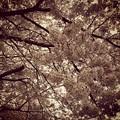 写真: 宮前公園の桜10