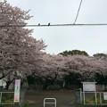 写真: 宮前公園の桜12