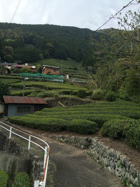 対岸のお茶畑