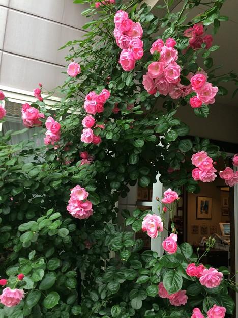 庭に咲く薔薇1