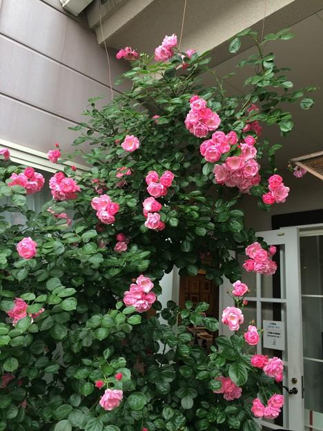 庭に咲く薔薇2
