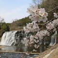 桜と龍門の滝
