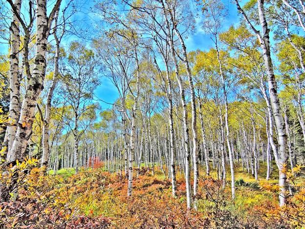 八千穂高原の白樺林(HDR)