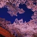 写真: 桜色に染まる夜空