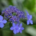 写真: 紫陽花#1