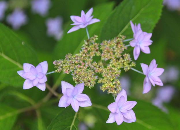 紫陽花#3