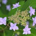 写真: 紫陽花#3