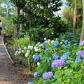 紫陽花の咲く小径