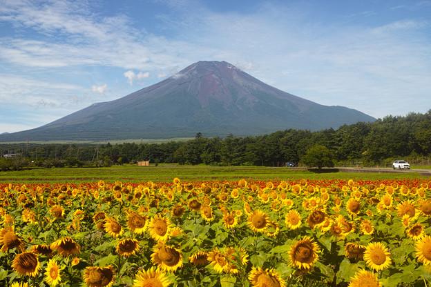 向日葵と富士山