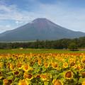 Photos: 向日葵と富士山