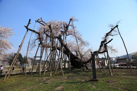 長井市 国天然記念物 久保の桜