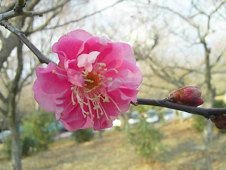 20090107-日本平梅林 (6)