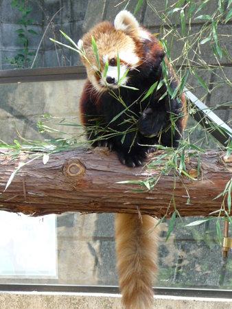 090409-野毛山動物園 レッサーパンダ (1)