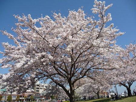090409-MM21 汽車道と桜 (7)