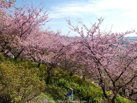 160226-松田町 河津桜 (38)