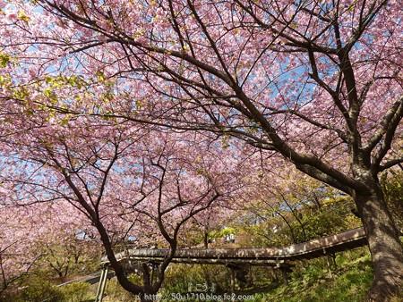 160226-松田町 河津桜 (43)