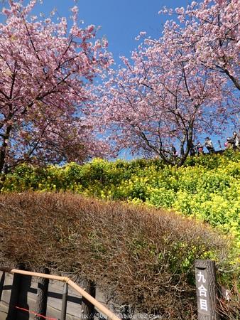 160226-松田町 河津桜 (53)