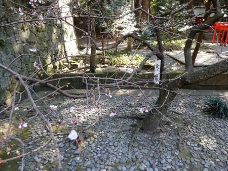 190105-久能山東照宮 寒桜 (3)