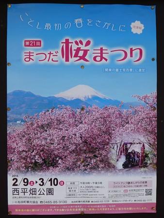 190304-松田山 河津桜 (1)