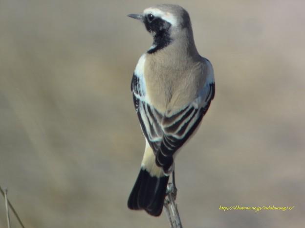 Photos: DesertWheatear8894