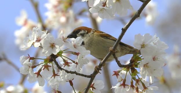スズメと桜