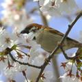Photos: スズメと桜