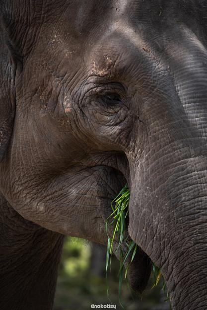 草を食む象